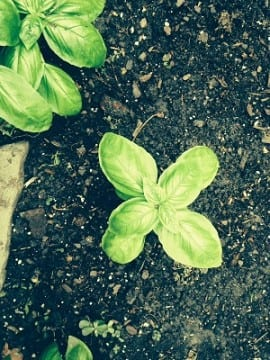 ProductiveMuslim Tips for Growing Your Own Greens Basil