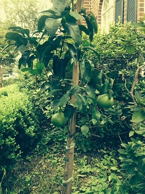 [Productive Hobbies] Tips for Growing Your Own Greens - Grapefruit   Productive Muslim